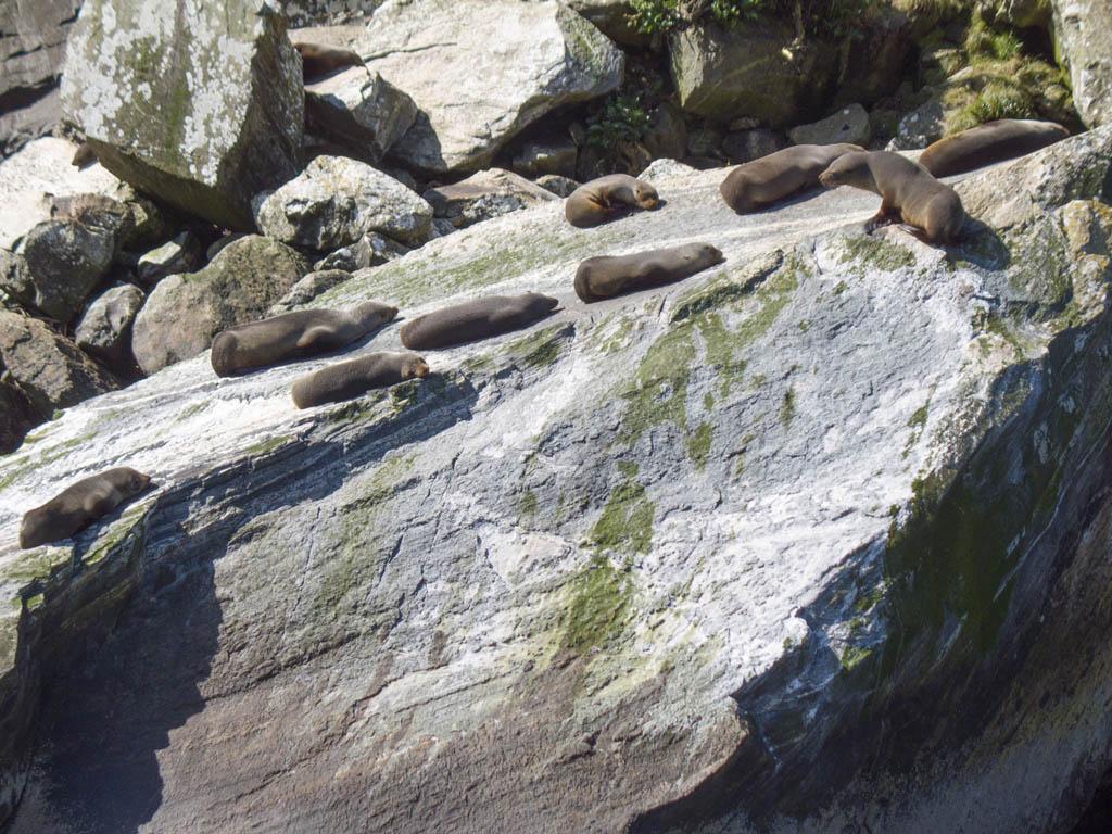 387 - Zoom sur les phoques de Milford Sound