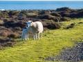 Moutons de Turakirae