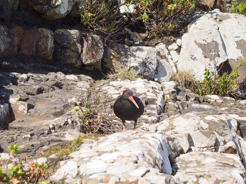 Huîtrier variable de Nouvelle-Zélande