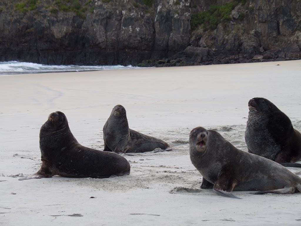 Lions de mer de Nouvelle-Zélande - Otago Peninsula